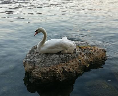 Во Охрид не го одминувајте лебедот Џорџ - омилениот симбол на градот