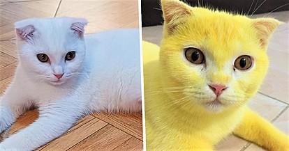 Тајландска мачка налик Пикачу откако ја лечеле со народен лек