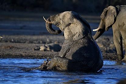Полска зоолошка градина ќе третира депресивна слоница со масло од канабис